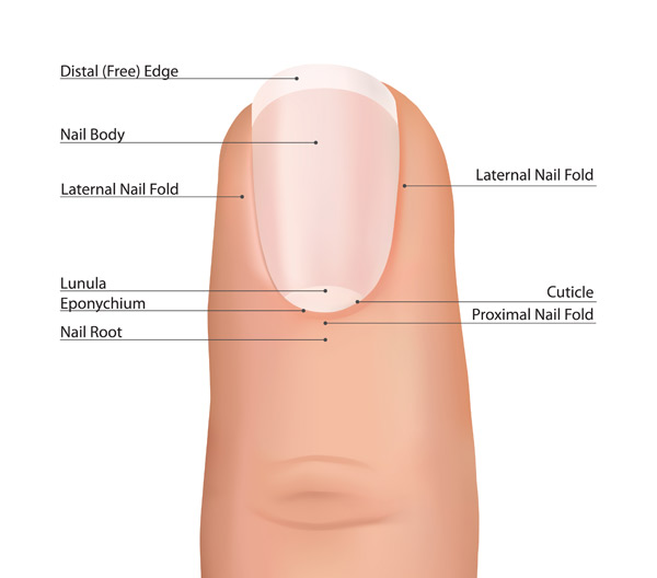 anatomy of a nail
