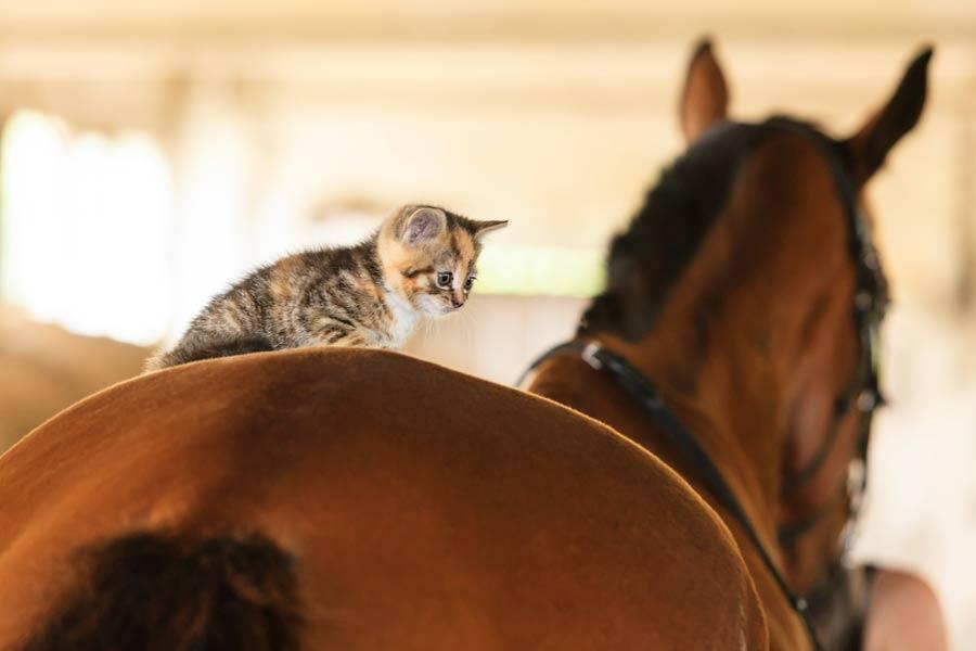 Kitten and horse