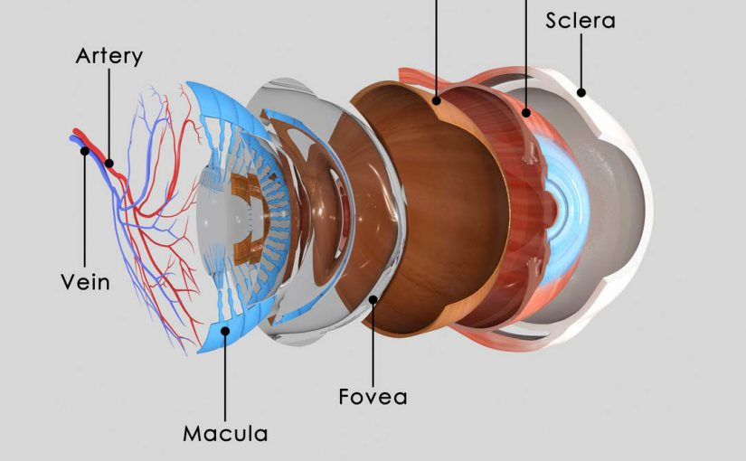 diagram of an eye ball