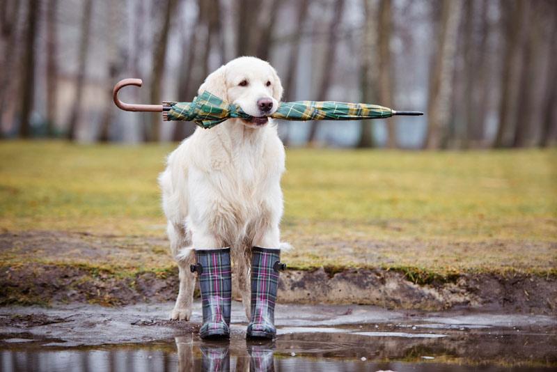 Cute Dog in Rain Boots